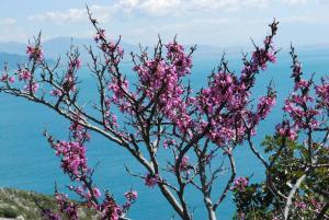 L'albero di Giuda fotografato lungo la Statale 163 amalfitana, foto Maria Rosaria Sannino