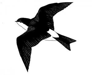 Un disegno che raffigura il Delichon urbica
