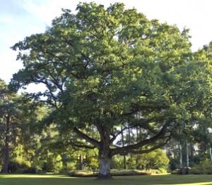 L'albero di Rovere