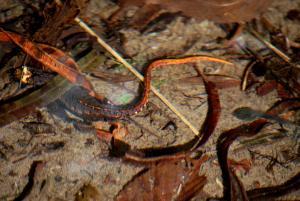 Salamandrina terdigitata