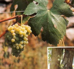 Vite cultivar Fenile