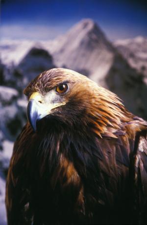 L'Aquila Reale