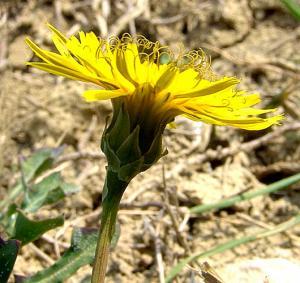 Rheicardia picroides