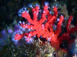 Il corallo rosso