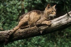 Gatto Selvatico Cielo Mare Terra La Biodiversità In Provincia Di