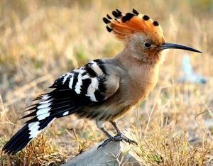 Upupa, foto Birding