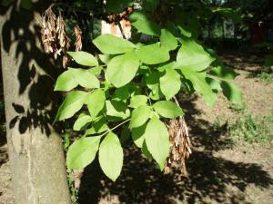Orniello, Fraxinus ornus L.