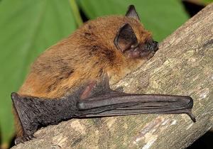Pipistrellus kuhlii foto tratta da Naturefeg.com