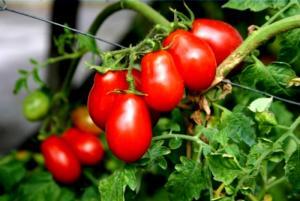 Pomodorino corbarino