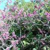 L'albero di Giuda, foto MRS