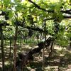 L'antico vitigno del Tintore a Tramonti, foto Vincenzo Sannino
