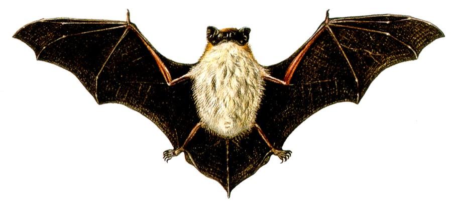Pipistrello di savi cielo mare terra la biodiversit - Contorno immagine di pipistrello ...